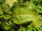 Acanthopanax Blatt gruen Eleutherococcus setchuenensis 02