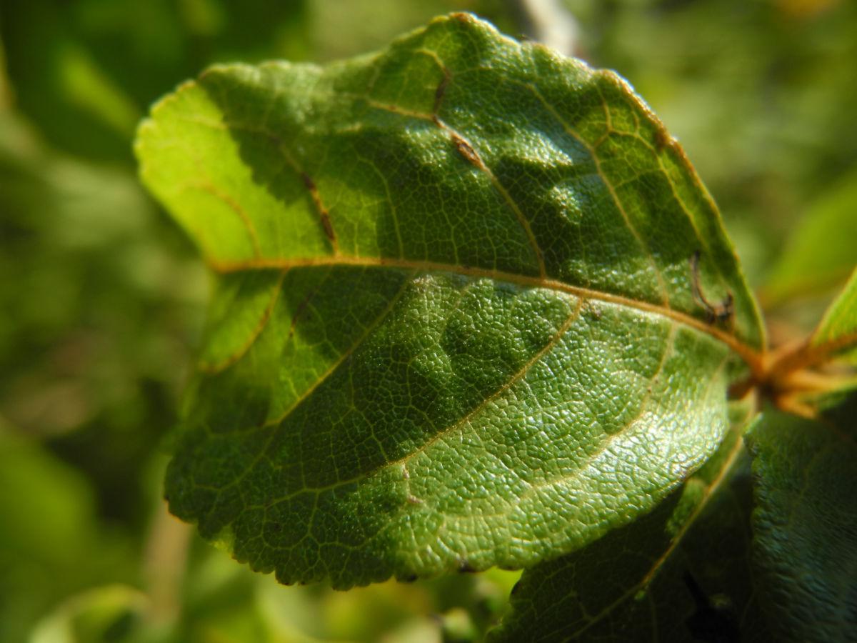 Acanthopanax Blatt gruen Eleutherococcus setchuenensis