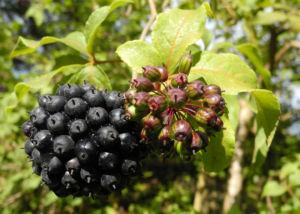 Acanthopanax Frucht dunkelblau Eleutherococcus setchuenensis 04