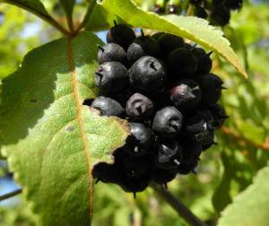 Acanthopanax Frucht dunkelblau Eleutherococcus setchuenensis 05
