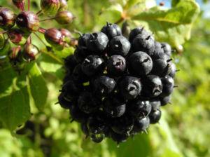 Acanthopanax Frucht dunkelblau Eleutherococcus setchuenensis 10