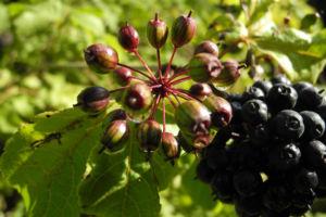 Acanthopanax Frucht dunkelblau Eleutherococcus setchuenensis 11