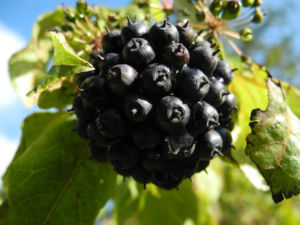 Acanthopanax Frucht dunkelblau Eleutherococcus setchuenensis 12