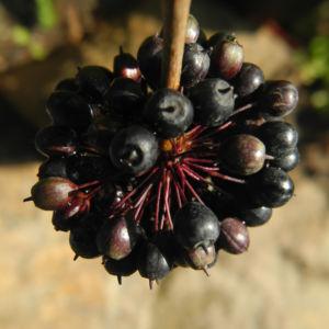 Acanthopanax Frucht dunkelblau Eleutherococcus setchuenensis 14