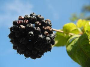 Acanthopanax Frucht dunkelblau Eleutherococcus setchuenensis 16