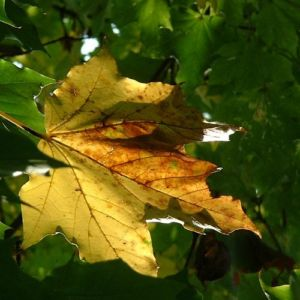 Image: Acer platanoides