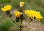 Acker Gaensedistel Bluete gelb Sonchus arvensis 04