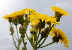 Acker Gaensedistel Bluete gelb Sonchus arvensis 07