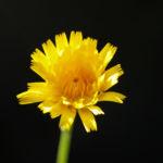 Acker Gaensedistel Bluete gelb Sonchus arvensis15