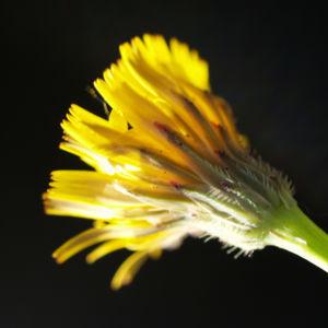 Acker Gaensedistel Bluete gelb Sonchus arvensis18