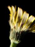 Acker Gaensedistel Bluete gelb Sonchus arvensis28