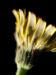Zurück zum kompletten Bilderset Acker-Gänsedistel Blüte gelb Sonchus arvensis
