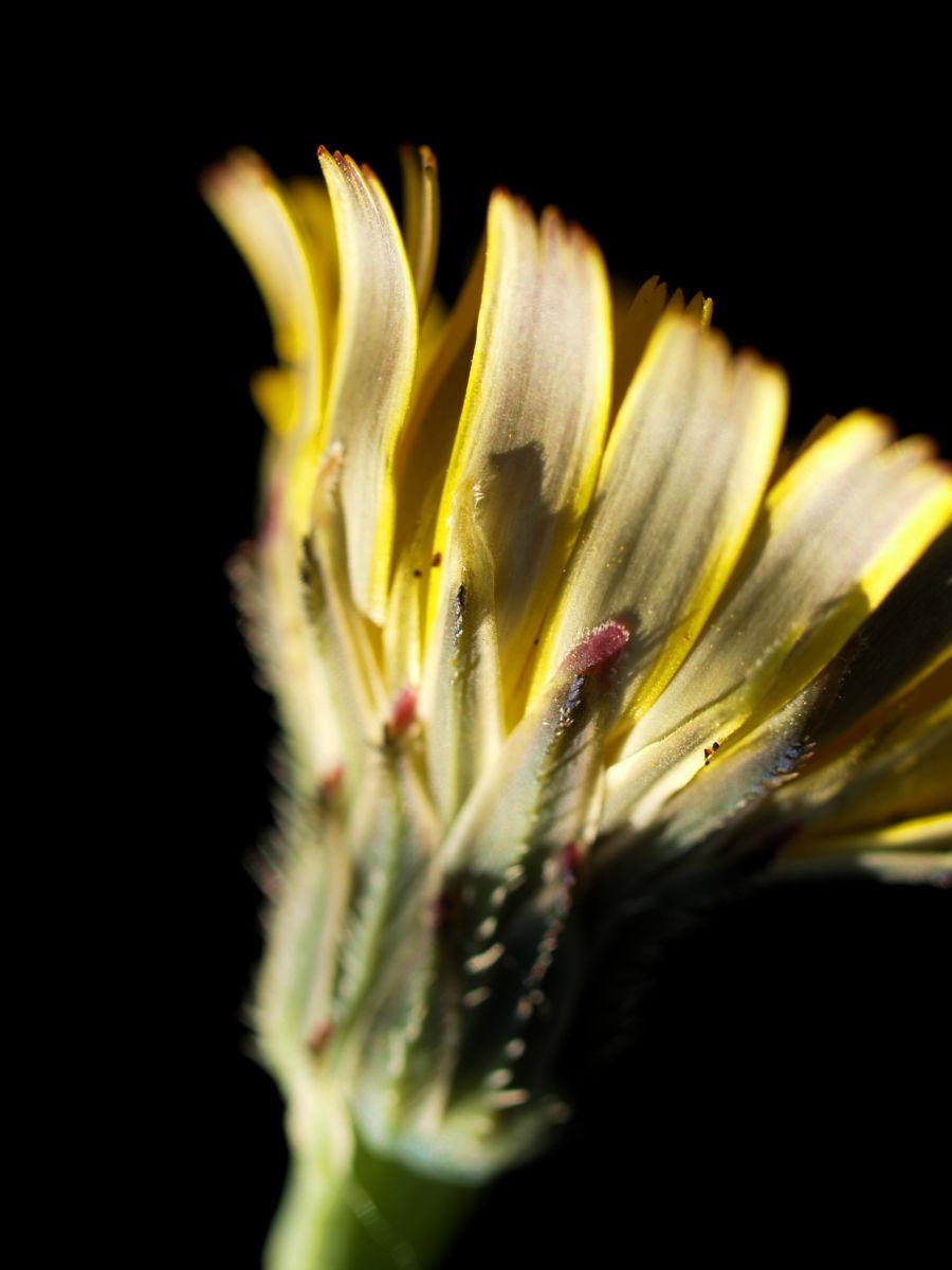 Acker Gaensedistel Bluete gelb Sonchus arvensis