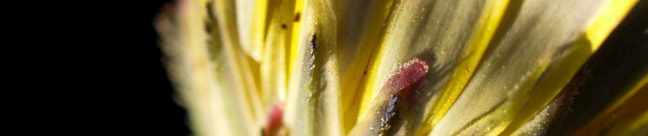 acker-gaensedistel-bluete-gelb-sonchus-arvensis
