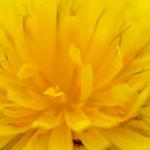 Acker Gaensedistel Kraut Bluete gelb Sonchus arvensis 01