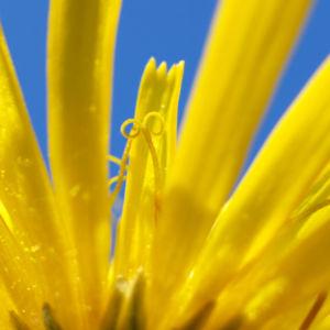 Acker Gaensedistel Kraut Bluete gelb Sonchus arvensis 02