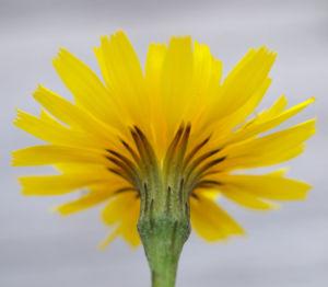 Acker Gaensedistel Kraut Bluete gelb Sonchus arvensis 03