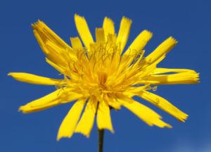 Acker Gaensedistel Kraut Bluete gelb Sonchus arvensis 05