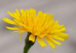 Acker Gaensedistel Kraut Bluete gelb Sonchus arvensis 06