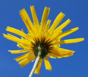 Acker Gaensedistel Kraut Bluete gelb Sonchus arvensis 07