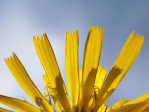 Acker Gaensedistel Kraut Bluete gelb Sonchus arvensis 08