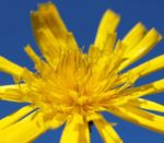 Acker Gaensedistel Kraut Bluete gelb Sonchus arvensis 09 2