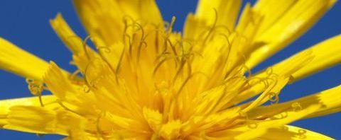 Anklicken um das ganze Bild zu sehen  Acker Gänsedistel Kraut Blüte gelb Sonchus arvensis