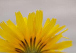 Acker Gaensedistel Kraut Bluete gelb Sonchus arvensis 10