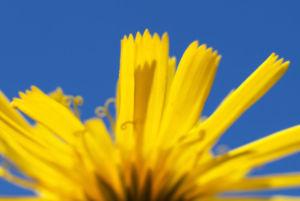 Acker Gaensedistel Kraut Bluete gelb Sonchus arvensis 11