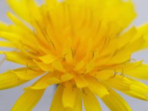 Acker Gaensedistel Kraut Bluete gelb Sonchus arvensis 12