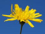 Acker Gaensedistel Kraut Bluete gelb Sonchus arvensis 13