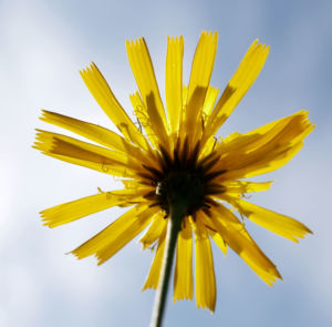 Acker Gaensedistel Kraut Bluete gelb Sonchus arvensis 15