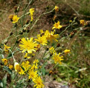 Acker Gaensedistel Kraut Bluete gelb Sonchus arvensis 17