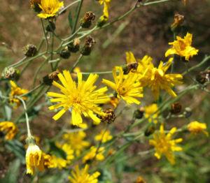 Acker Gaensedistel Kraut Bluete gelb Sonchus arvensis 18