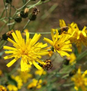 Acker Gaensedistel Kraut Bluete gelb Sonchus arvensis 19