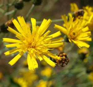 Acker Gaensedistel Kraut Bluete gelb Sonchus arvensis 20
