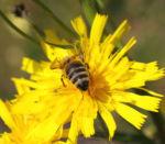 Acker Gaensedistel Kraut Bluete gelb Sonchus arvensis 22