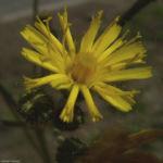 Acker Gaensedistel Sonchus arvensis 01