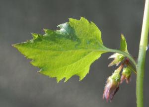 Acker Glockenblume Blatt gruen Campanula rapunculoides 02