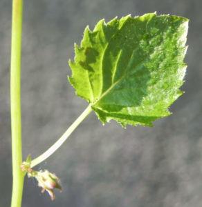 Acker Glockenblume Blatt gruen Campanula rapunculoides 04