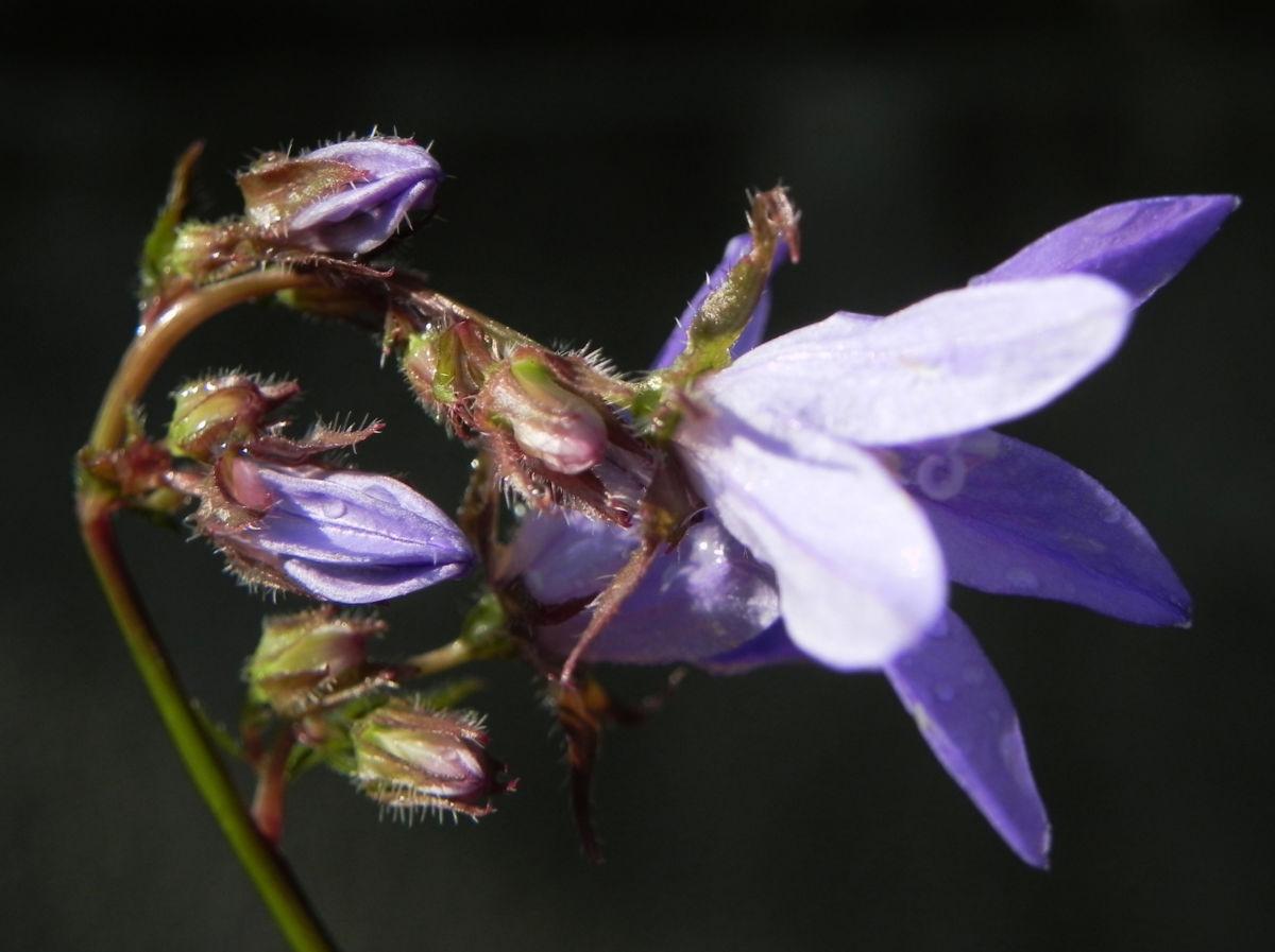 Acker Glockenblume Bluete lila Campanula rapunculoides