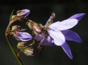 Acker Glockenblume Bluete lila Campanula rapunculoides 04