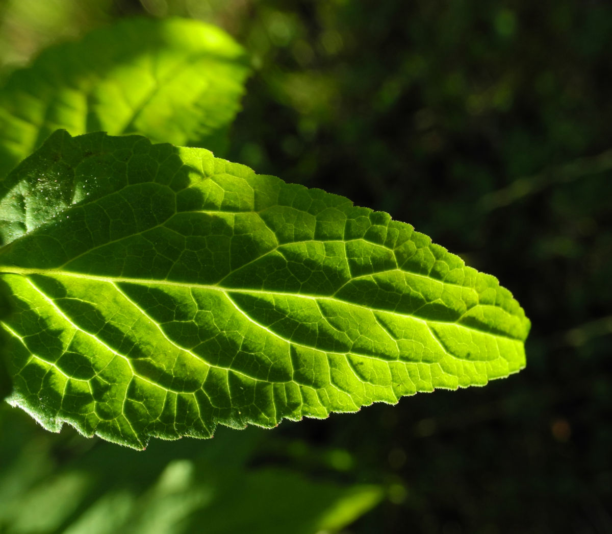 Acker Glockenblume Blatt grün Campanula rapunculoides