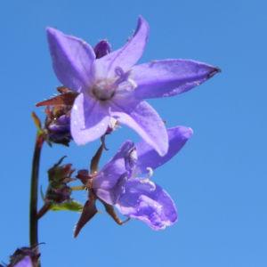 Acker Glockenblume Bluete lila Campanula rapunculoides 14