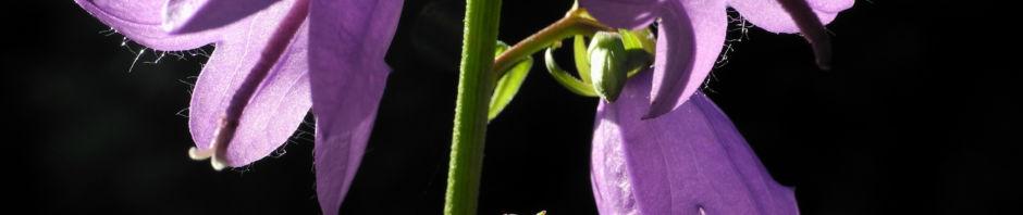 acker-glockenblume-bluete-lila-campanula-rapunculoides