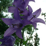 Acker Glockenblume Campanula rapunculoides 01
