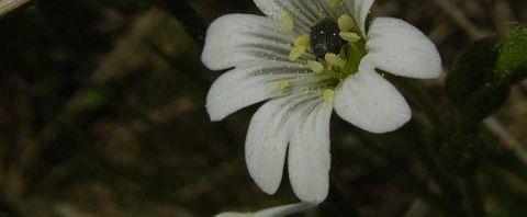 Anklicken um das ganze Bild zu sehen Acker Hornkraut Blüte weiß Cerastium arvense