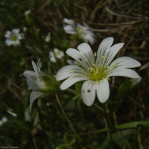 Acker Hornkraut Bluete Cerastium arvense 03