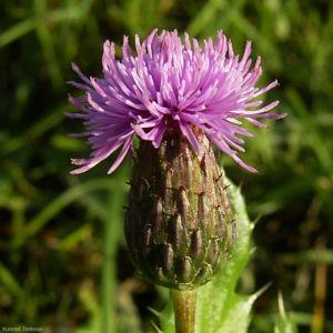 Bild: Acker Kratzdistel Bluete Same Cirsium arvense