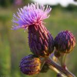 Acker Kratzdistel Cirsium arvense 01